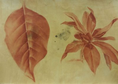 Feuilles de magnolia - Etude à la sanguine - 32x50 cm
